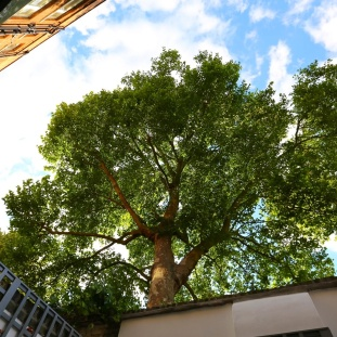 A tree grows in Chelsea